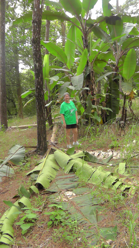 There are some really big banana trees in this forest too.