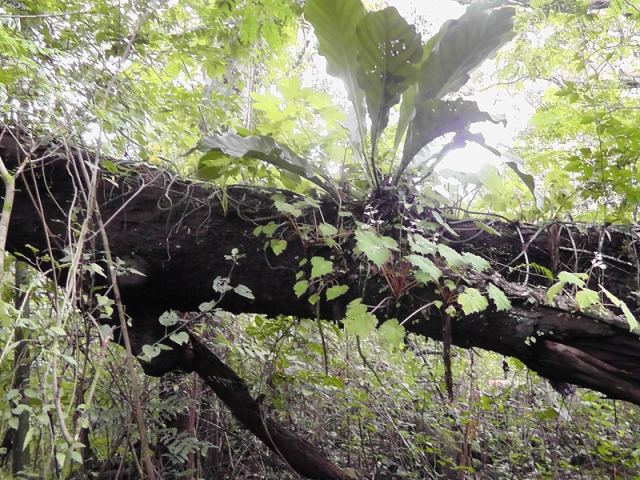A huge old fallen tree in the forest covered with amazing plants!