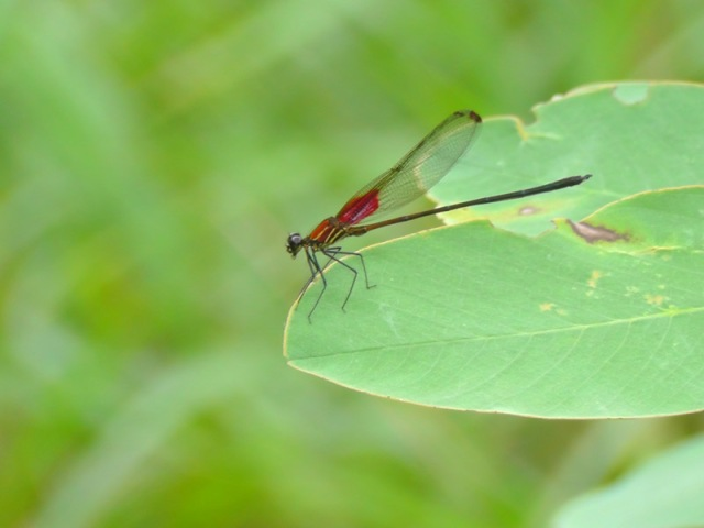 I spotted this beautiful dragonfly on a green leaf
