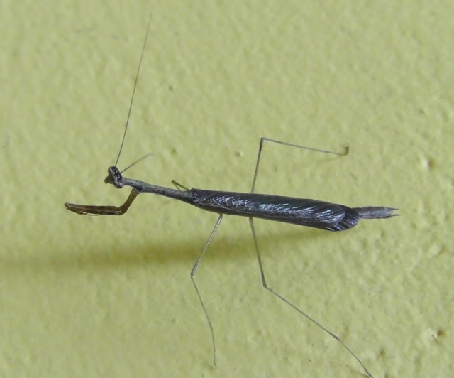 A little praying mantis on the wall