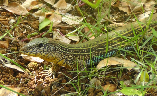 lizard 3