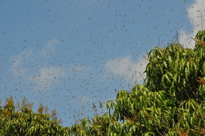 "I caught the bees in the act of swarming, which was a good photo op for the photography club's topic of ""fear""."