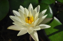 Water lilies are blooming, and this one has attracted a pretty green bee.