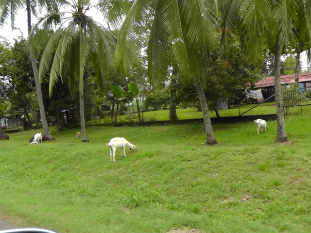 Seen in the southern part of the city, goats trimming alongside the road in a residential neighborhood.