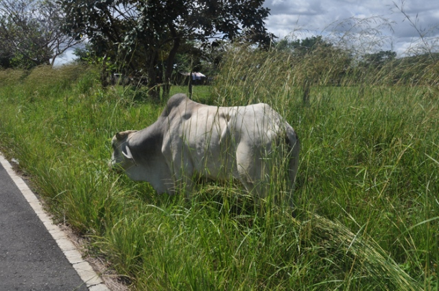 A frequent sight in more rural areas, cows by the road.