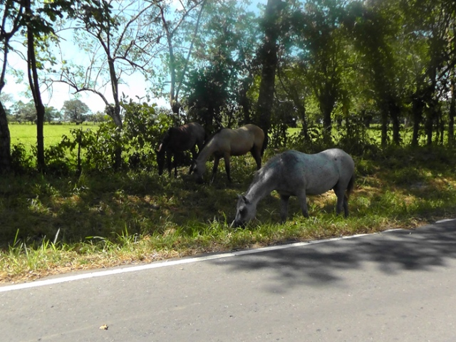 Another common sight, horses by the side of the road. When you aren't using them for transportation, let them trim the grass. These weren't even tied.
