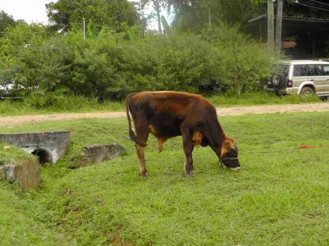 This calf lives down the road from us. When he's not working on the soccer field, he's working along side the road.