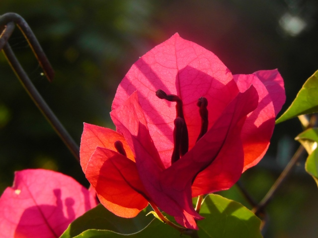 A red bougainvillea against the afternoon sun