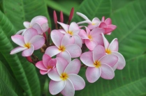 The plumeria continue to bloom and perfume the yard with their heavenly sweet smell