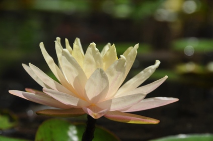 Waterlilies continue to bloom