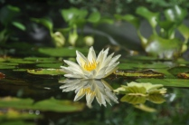 I continue to be endlessly fascinated by water lilies and water
