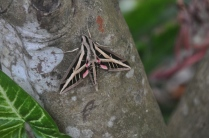 We found this beautiful sphinx moth in the garage and put it outside on a tree