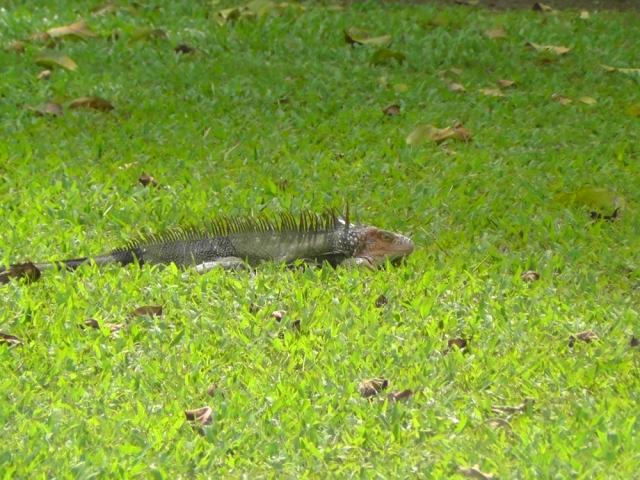 surprise iguana