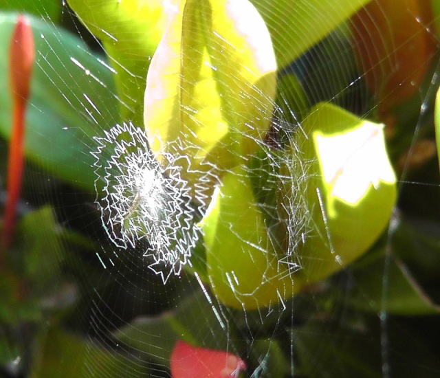 A very interesting spider web. I'm not sure what the white threads are. (photo by Joel)