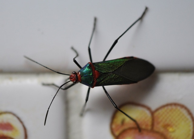 A very pretty bug that flew in one night and landed on our kitchen wall near the light.