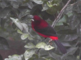 I have seen these red birds occasionally but they are very shy and hard to catch with the camera. When I saw two in the tree outside the window, I snuck up to the window with my camera and was lucky enough to catch a few photos.