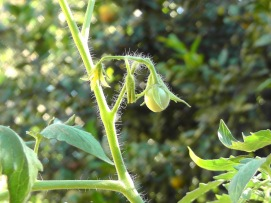 Our first tomato! This plant is a volunteer that came up in the yard. Photo by Joel.