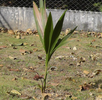My friend and neighbor Haydeé gave me a baby coconut palm.