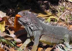 iguana111s