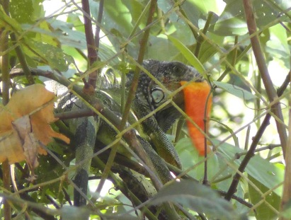 iguana22s