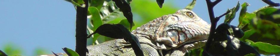 iguana31