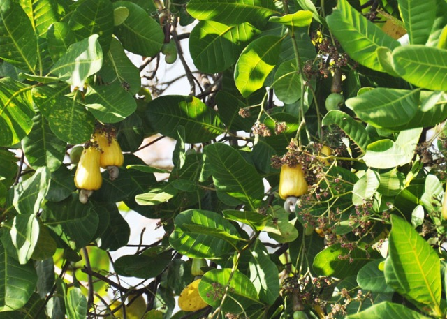 It definitely has yellow fruit! I noticed though that most of them are on the west side of the tree.