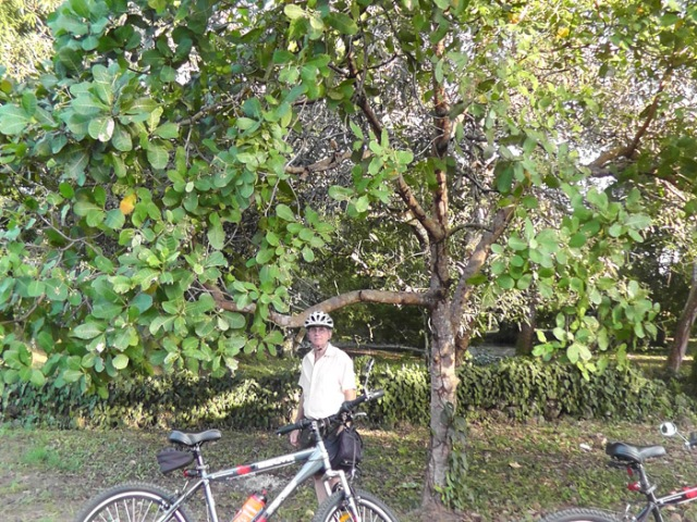 We first noticed a cashew tree when we were bike riding and stopped by the side of the road. We saw things on the tree that I thought must be cashews.