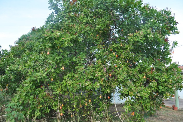 Wow, what is this? a tree with red fruit like the fruit from the market!