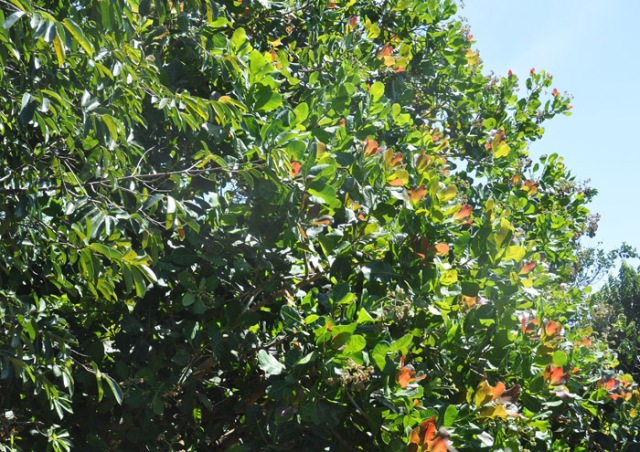 The neighbor's tree, which has been flowering. I think the reddish leaves are pretty. One day I noticed it has a few cashews on it!