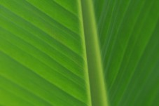 I love the beautiful greens of this brand new leaf on the banana plant