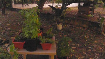 Excuse the photo quality but it was dusk, and I just finished putting my new herbs in the planters I bought this morning. The pot in the background has this gorgeous plant with huge dark green/purple leaves that I got at a plant store. Along the wall you can almost see the variegated green and white plant we thought was dead, that now had two big healthy leaves and another sprouting.