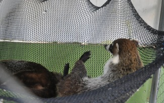coatimundi, members of the raccoon family. Some people say they make good pets too.