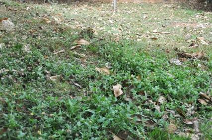yardweeds