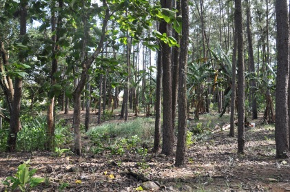 We walk across the street and head into the woods, past the huge banana trees.