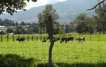 A lush green pasture with cows.