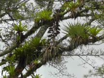 Many trees were covered with bromeliads and other plants.