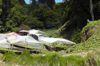 As we get closer to Cerro Punta we start to see vegetables growing, and these greenhouses were full of seedlings.