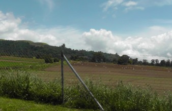 Men hard at work in the fields. You can barely see them, but you can see their white buckets scattered through the field.