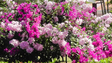 Some beautiful bougainvillea in the neighborhood.