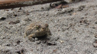 A tiny frog in the sand (photo by Joel)