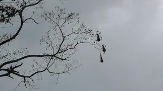 Crested Oropendola nests!