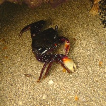 Another photo by Joel of another cool crab.