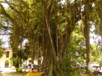 This huge tree is in the city park with vines hanging everywhere, and many large bromeliads and other plants in it everywhere.