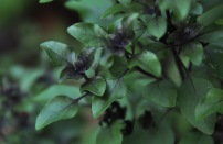 Anise flavored basil
