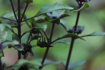 What you can't see in the previous picture is that for some reason, little black bees have taken a real interest in my anise flavored basil. It isn't flowering so I'm not sure why.