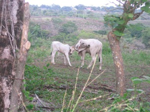 Panama Cows Playing in the Field