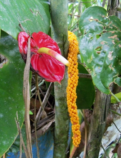 Flowers at Sitio Barriles, Volcan, Chiriqui, Panama