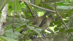 The Paisanas, aka Gray headed Chachalaca (Ortalis cinereiceps)
