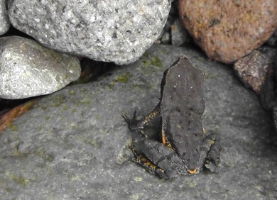 Joel found a little black frog in the rocks.