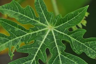 A papaya leaf
